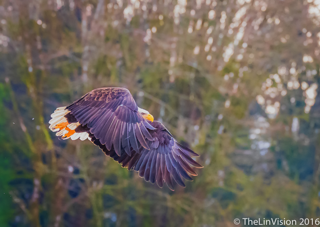 "#5 - Ning Lin - ""Bald Eagle Flying"" - Nooksack River, WA"