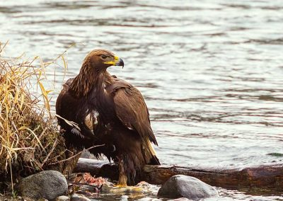 "Steve Philbrick,, ""Juvenile Golden Eagle #2"""