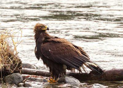 "Steve Philbrick, ""Juvenile Golden Eagle #1"""