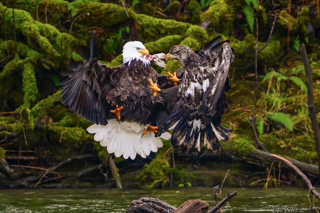 Two bald eagles. Photo by winner Dave Govan. Photo title is Competition.